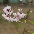 桜_散歩道 D5508