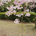 桜_散歩道 D5509
