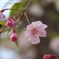 枝垂れ桜_散歩道 D5511