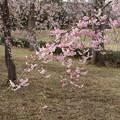 枝垂れ桜_散歩道 D5513
