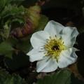 苺の花_農園 F4075