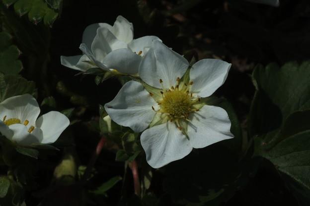 苺の花_農園 F4071
