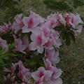 Photos: ツツジ_公園 F4130