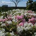 Photos: ツツジ_公園 D5804