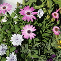 Photos: 花壇の花 D5811