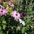 Photos: 花壇の花 D5812