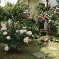 Photos: バラ_花壇 D5853