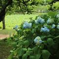 Photos: アジサイ_公園 D6031