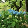 Photos: アジサイ_公園 D6033