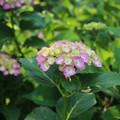 紫陽花_散歩道 D6010