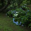 アジサイ_公園 F4198