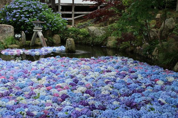 池の紫陽花_雨引 D6232
