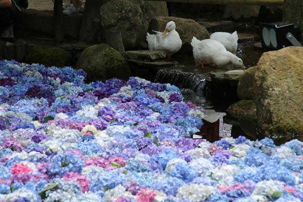 池の紫陽花と_雨引 D6238