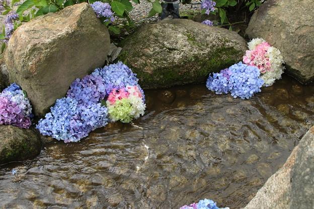 小川の紫陽花_雨引 D6263