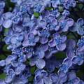 紫陽花_雨引 D6275