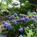 紫陽花_雨引 D6291