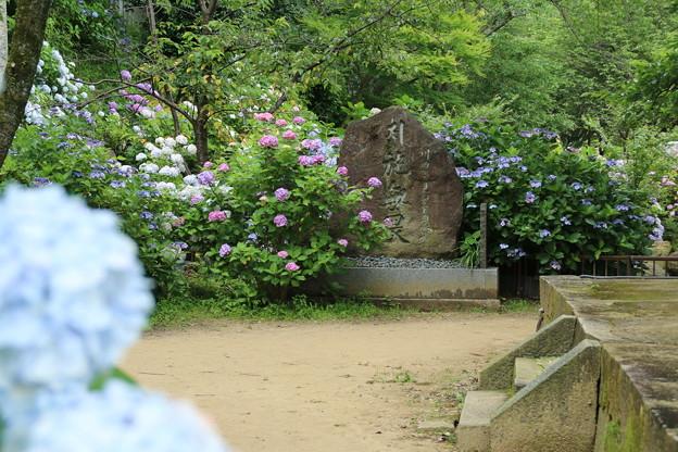 紫陽花_雨引 D6289