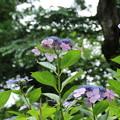 紫陽花_雨引 D6290