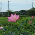 古代蓮_守谷 D6450