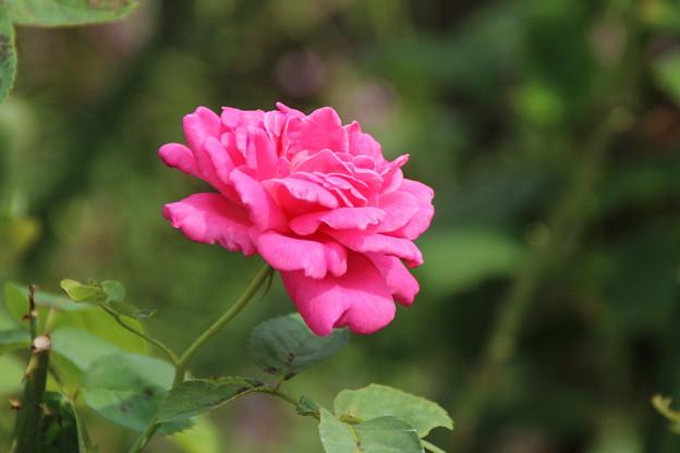 バラ_花壇 D6545