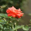 バラ_花壇 D6556