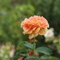 バラ_花壇 D6562