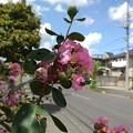 Photos: サルスベリ_散歩道 K277
