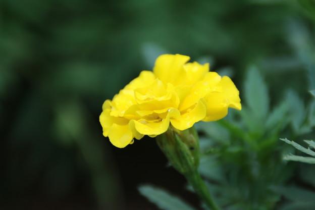 遊歩道の花 D6676