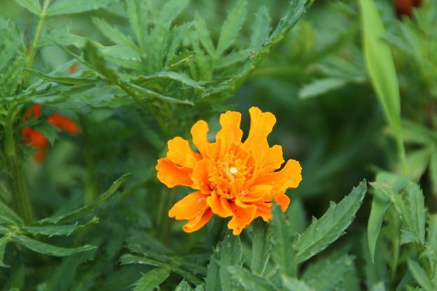 遊歩道の花 D6678