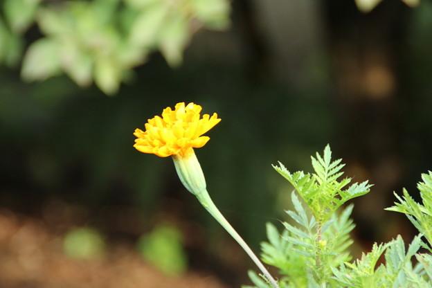 遊歩道の花 D6679