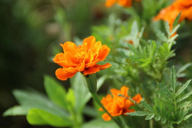 遊歩道の花 D6688