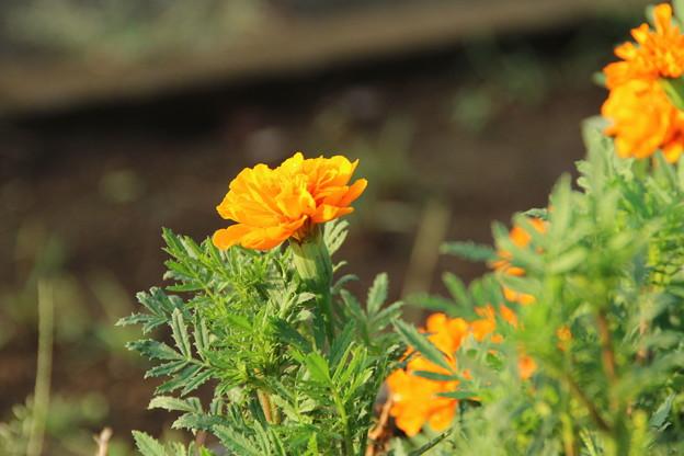 遊歩道の花 D6703