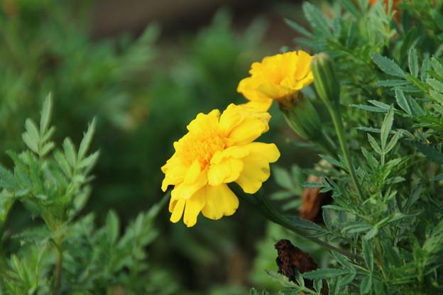 遊歩道の花 D6700
