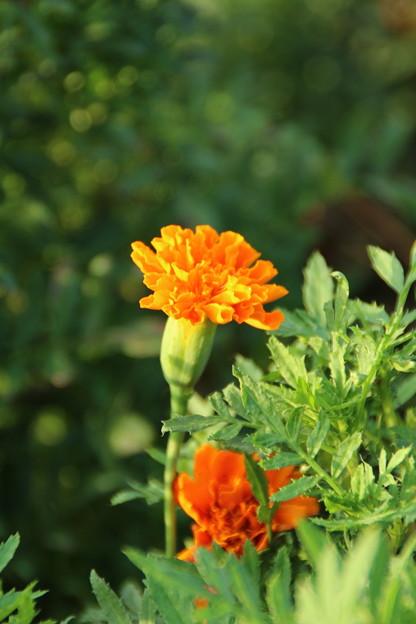 Photos: 遊歩道の花 D6701