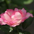 薔薇_公園 D6790