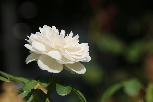 薔薇_公園 D6791