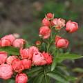 薔薇_公園 D6792