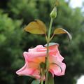薔薇_公園 D6793