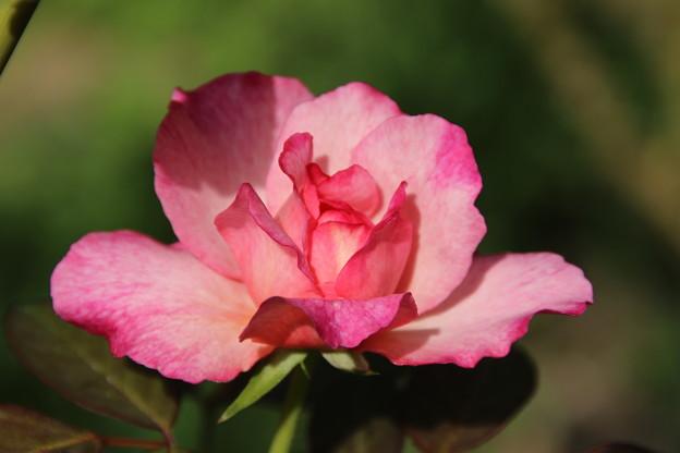薔薇_公園 D6796