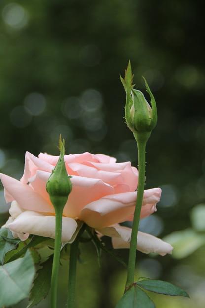 薔薇_公園 D6795