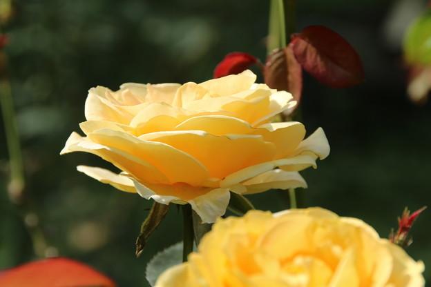 薔薇_公園 D6799