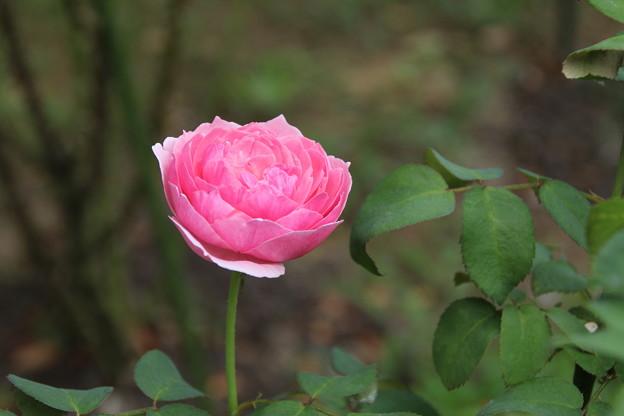 薔薇_公園 D6802