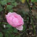 薔薇_公園 D6803