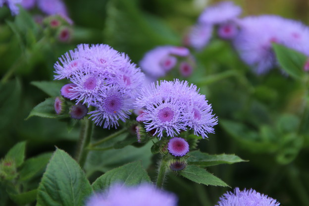 Photos: 花壇の花_公園 D6807