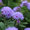 花壇の花_公園 D6807