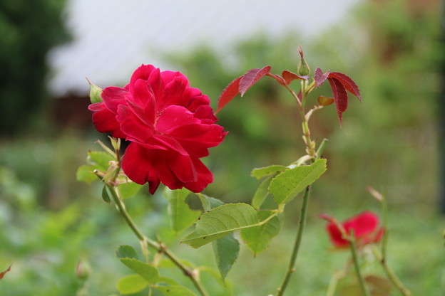 薔薇_公園 D6811