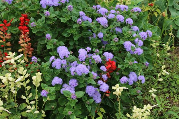 花壇の花_公園 D6810