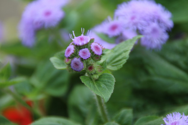 花壇の花_公園 D6808