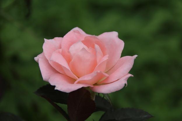 薔薇_公園 D6814