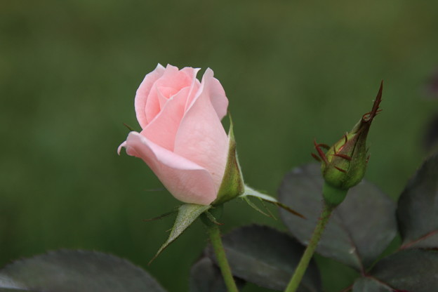 薔薇_公園 D6815